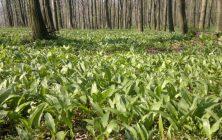 THE BEAR'S GARLIC (Allium ursinum)