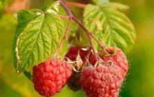 ERDEI MÁLNA  (Rubus idaeus)