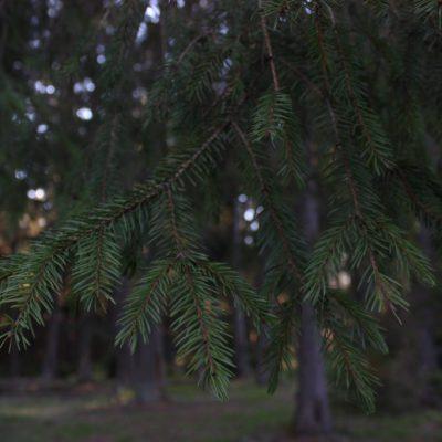 MOLIDUL (Picea abies)