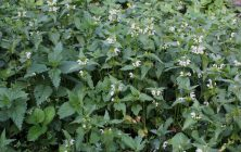 WHITE DEAD NETTLE (Lamium album)
