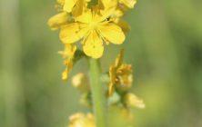 KÖZÖNSÉGES PÁRLÓFŰ (Agrimonia eupatoria)