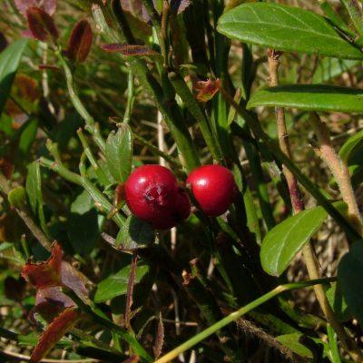 VÖRÖS ÁFONYA (Vaccinium vitis-idaea)