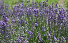 LAVENDER SPECIES (Lavandula spp.)