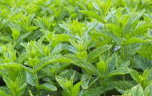 MINT SPECIES (Mentha spp.)