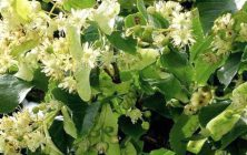 SMALL-LEAVED LIME (Tilia cordata)