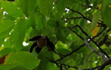 Common walnut (Juglans regia)