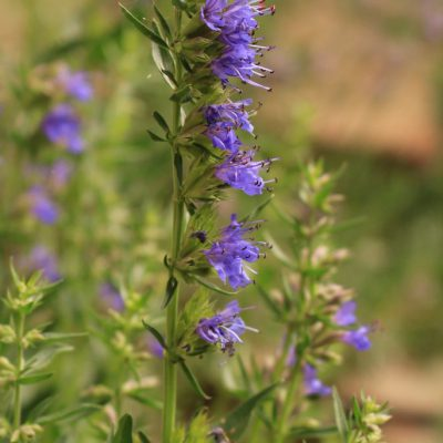 Isop (Hyssopus officinalis)