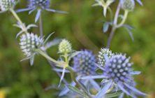 Blue eryngo (Eryngium planum)