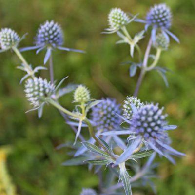 Kék iringó (Eryngium planum)