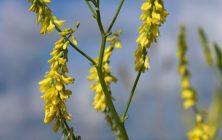 Common melilot (Melilotus officinalis)